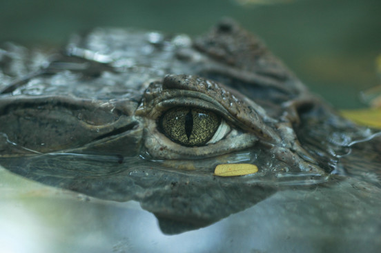 Close-up-crocodile-eye-location